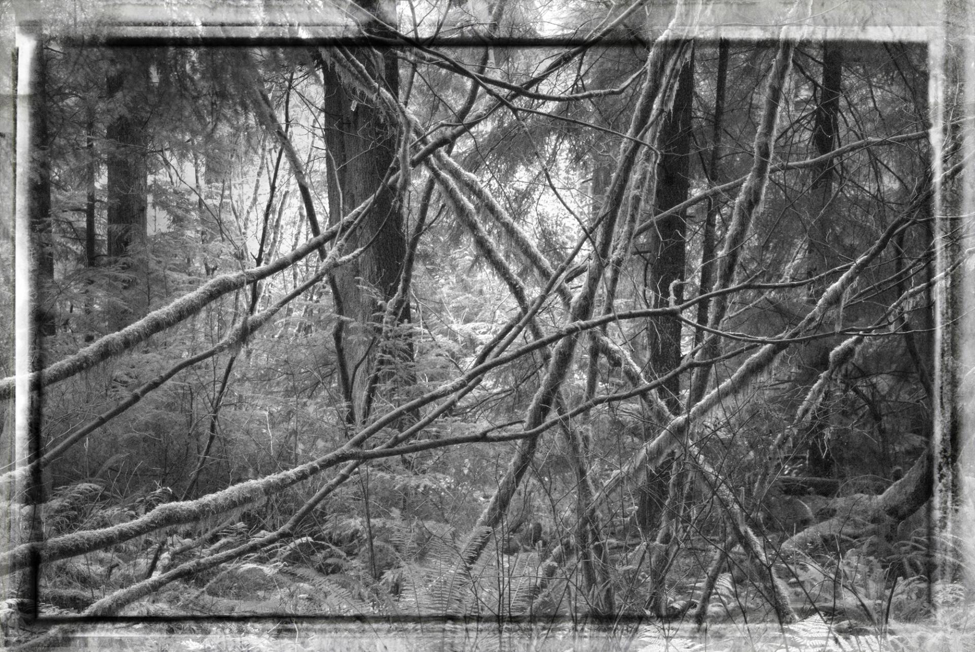 Vancouver Cedar Forest Tangle