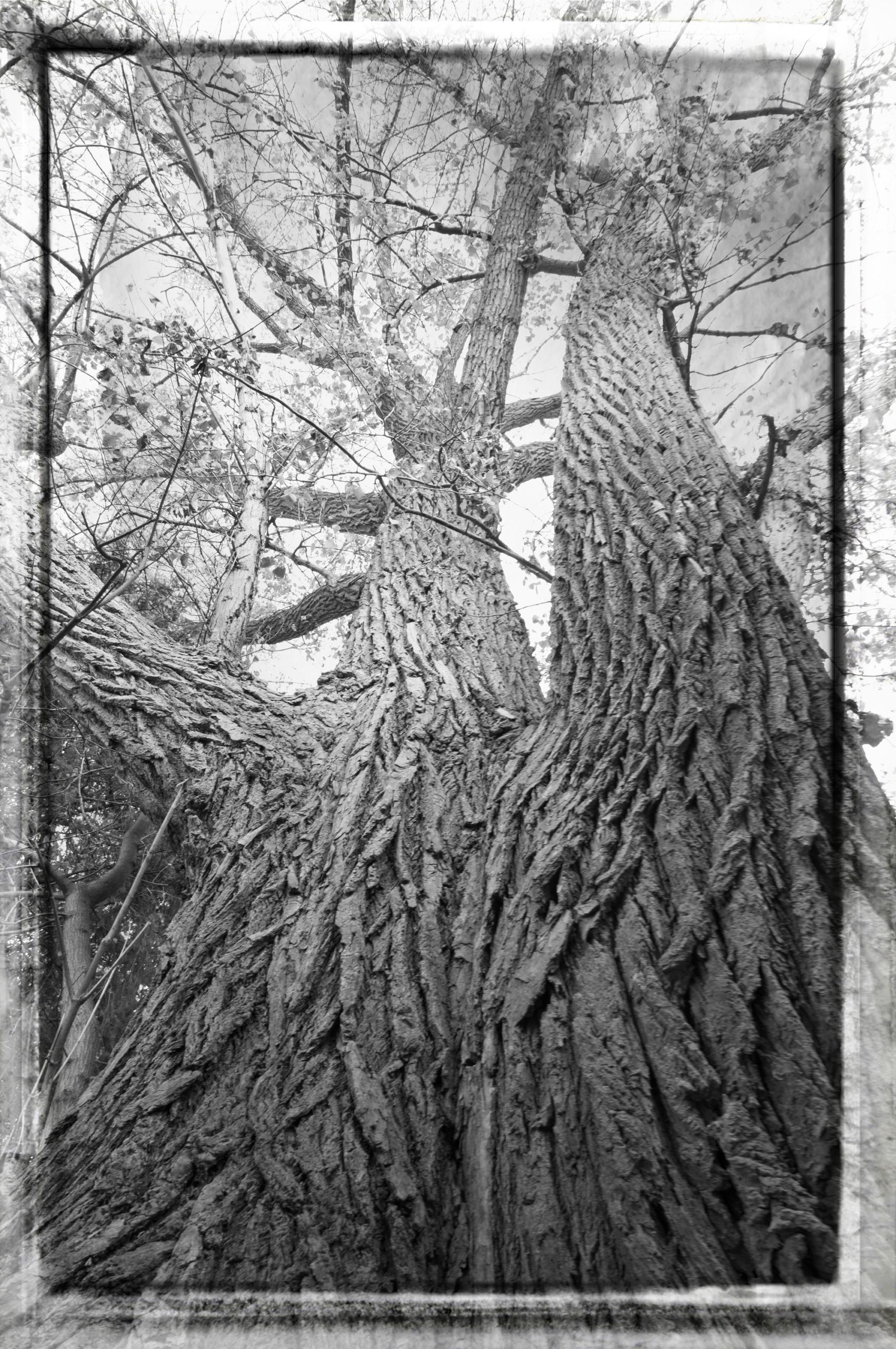 Cottonwood Looking Up