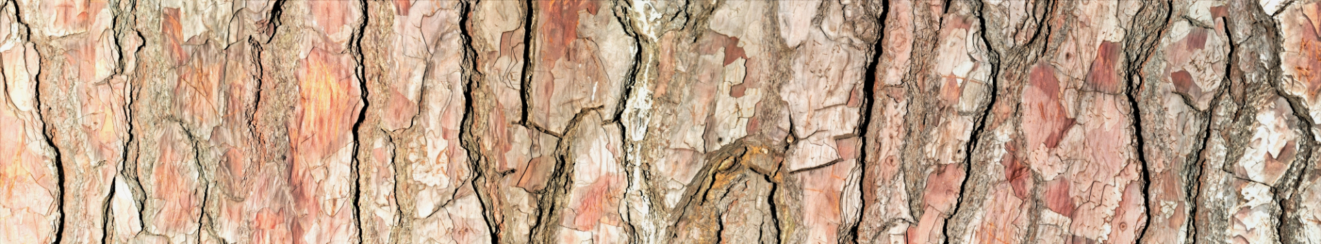 Pinus Tree Sydney